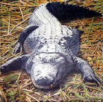 TheGator.png (469367 bytes)